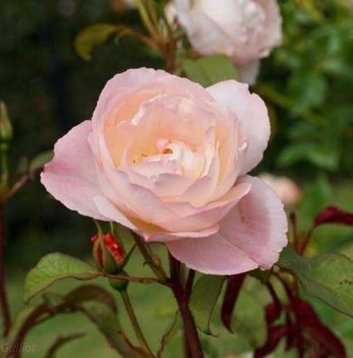 Rose Abbaye de Maubuisson