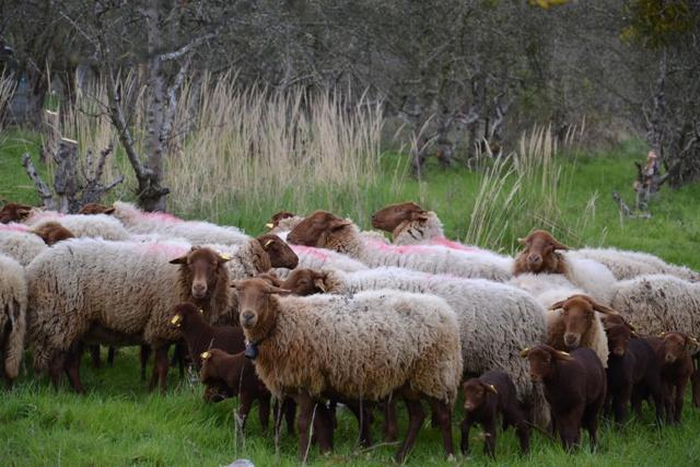 Les Moutons dans le verger de l'Espace Naturel de Saint-Prix