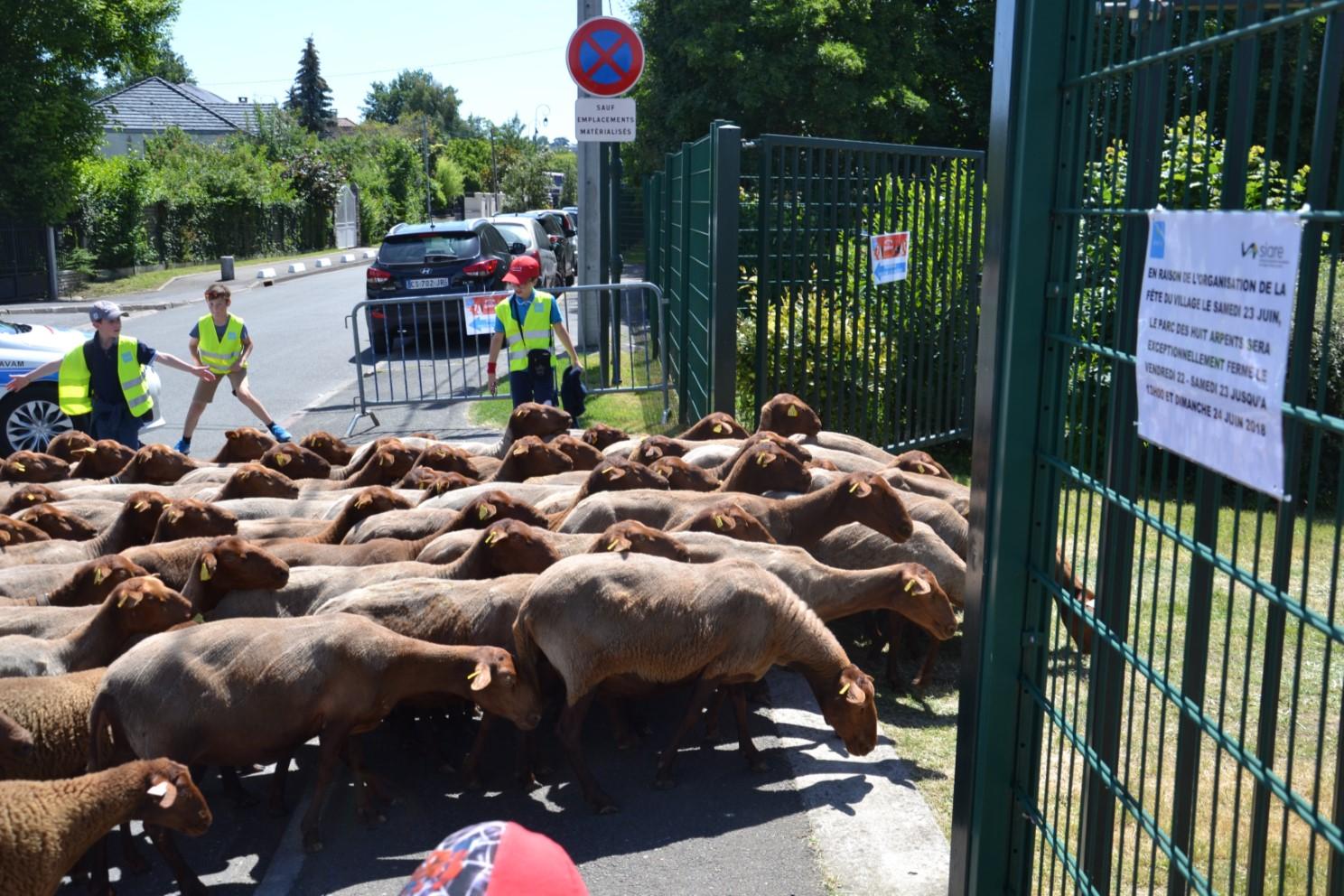 Arrivée des moutons au parc des Huit Arpents