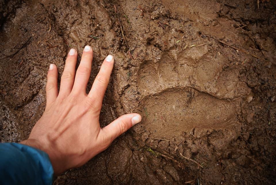 Des traces d'ours en Slovénie