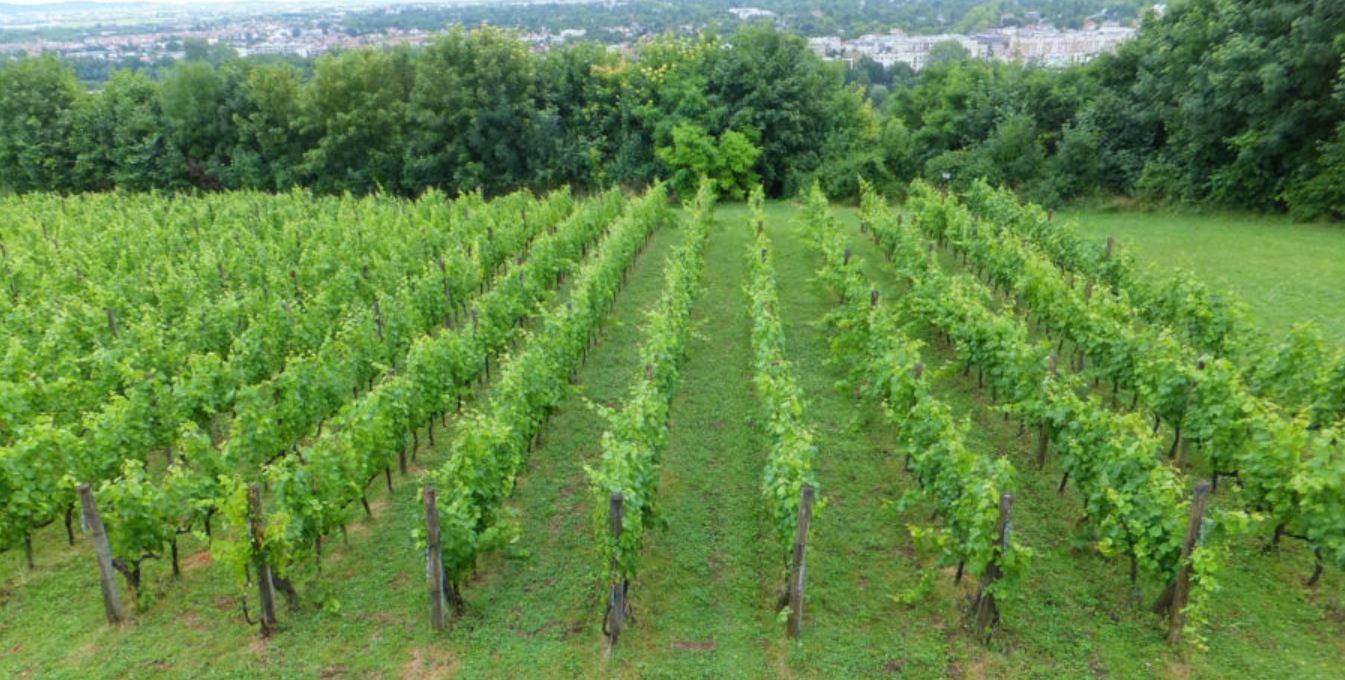 Vignes dans la Vallée de Montmorency