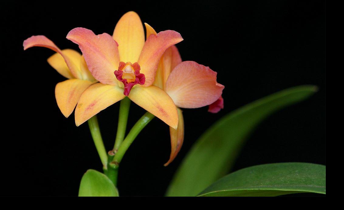 Grande exposition amour d 39 orchidees enghien du 24 au 26 f vrier 2017 - Symbole de l orchidee ...