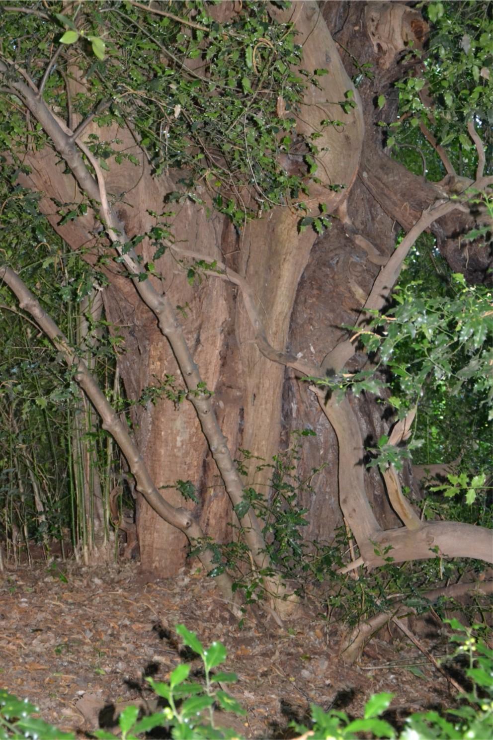 Châtaignier remarquable dans la Forêt de Montmorency