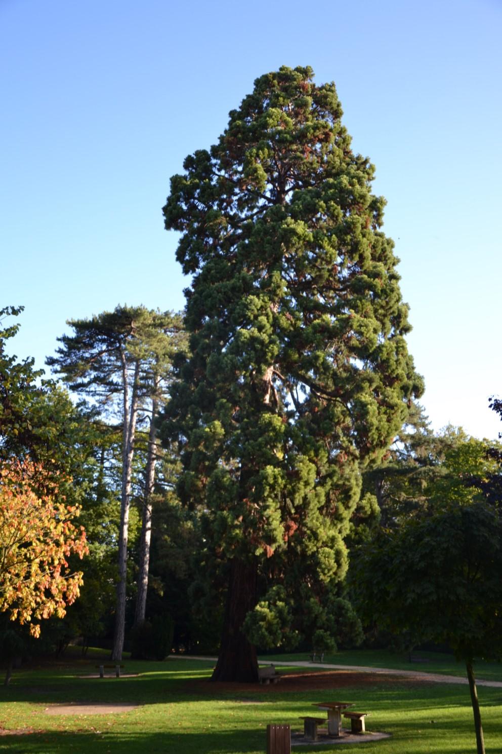 Sequoi de Califormie dans le parc du château
