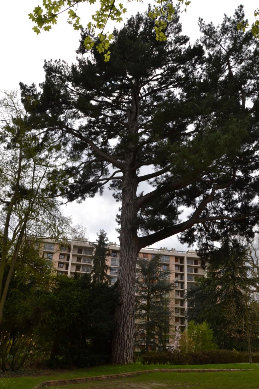 Pin du parc du Château Philipson à Eaubonne