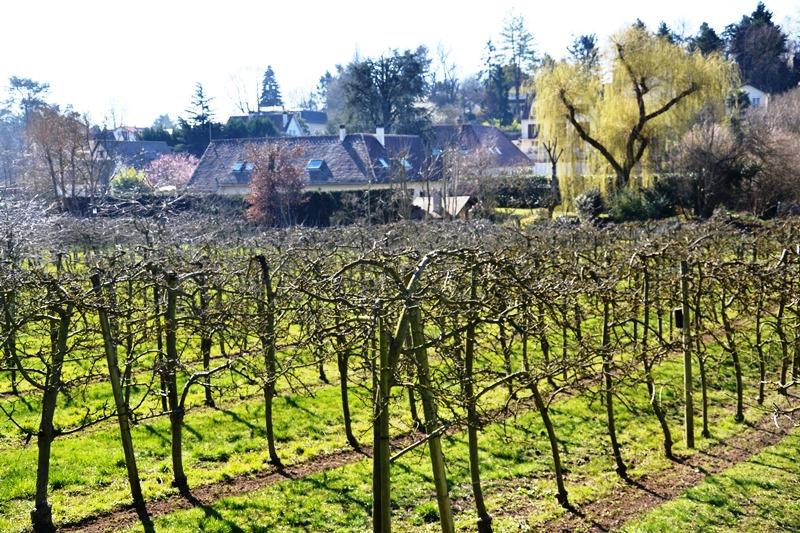 Balade à Groslay - 2021 - parcelle de vigne