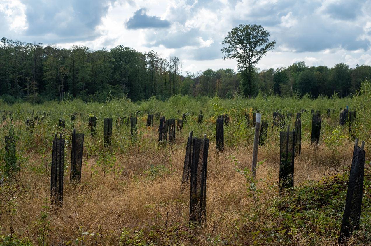 Plantation dans la Forêt de Montmorency (photo de Jean-Pierre Even)