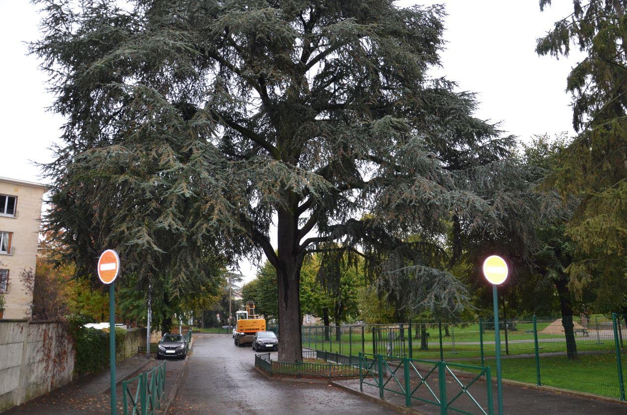 Le cèdre de l'Atlas, situé à Sannois, lauréat du concours de l'arbre valdoisien 2019 (novembre 2019)