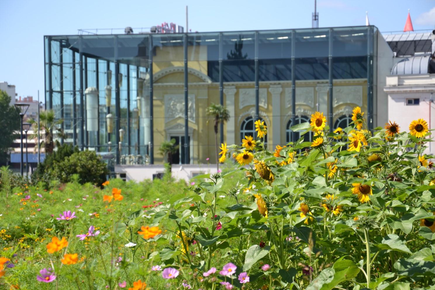 Août 2018 - Les tournesols du square Villemessant avec le Casino d'Enghien en arrière-plan.