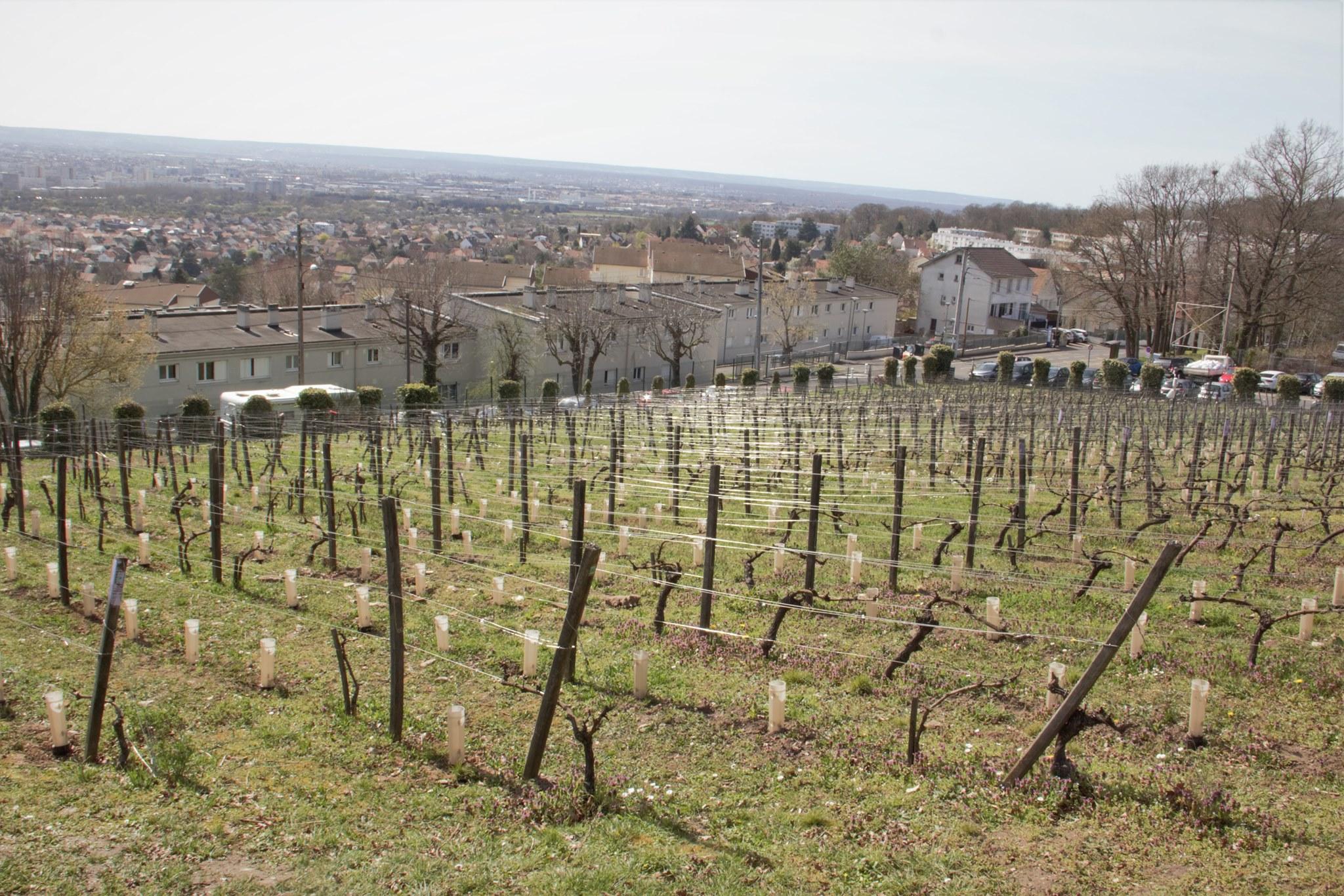 Les vignes de Sannois (mars 2021 - photo de Patrick Danielou)