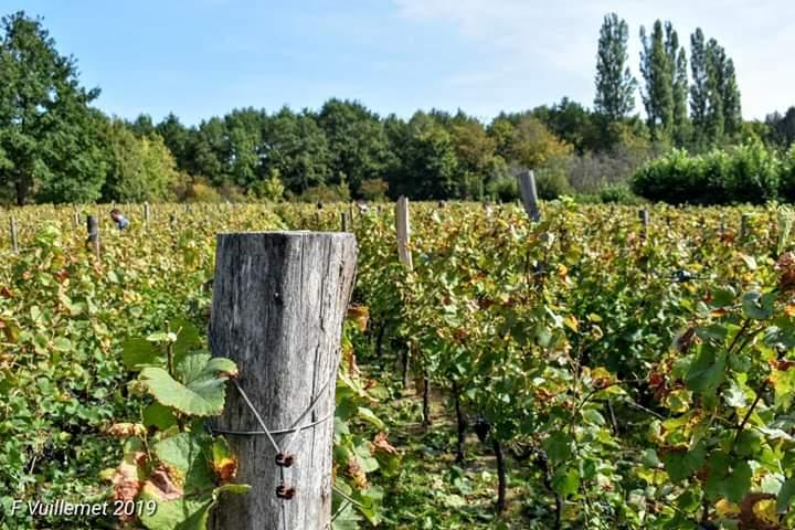 Vignes de Saint-Prix (photo de François Vuillemet)